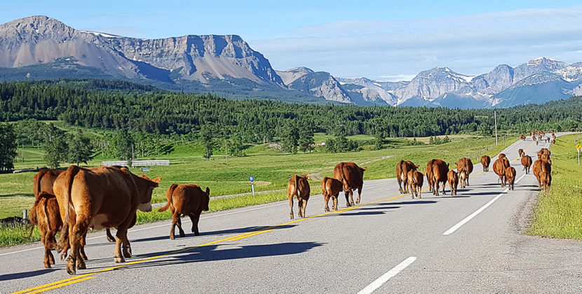 cattle grazing in provincial park
